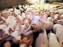Ανοιχτή επιστολή ΠΦΠΟ για τους χοίρους εκτροφής