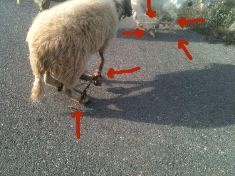 """Η ΠΦΠΟ ζητά εντατικούς ελέγχους και την κατάργηση του """"παστουρώματος"""" στα ζώα / P.F.P.O requests intensive checks and the banning of """"pastouroma"""" of animals"""