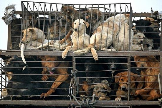 Παγκόσμια ψηφοφορία κατα του φεστιβαλ κρέατος σκύλων στην Κίνα