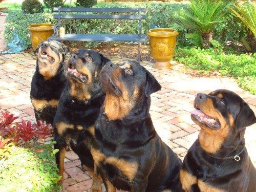 Δολοφόνησαν εν ψυχρώ τα 4 rottweilers