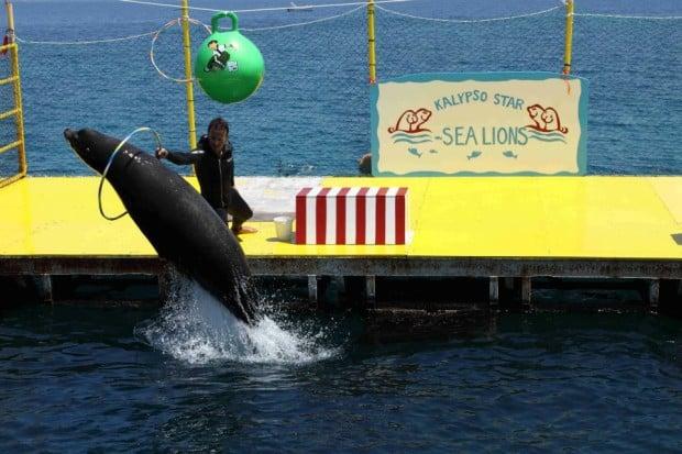 «Το τερμάτισε» η Διεύθυνση Κτηνιατρικής Κερκύρας: δεν επικυρώνει το πρόστιμο για τις παραστάσεις των θαλάσσιων λεόντων βάσει νομοθεσίας περί… ζωικών υποπροϊόντων!
