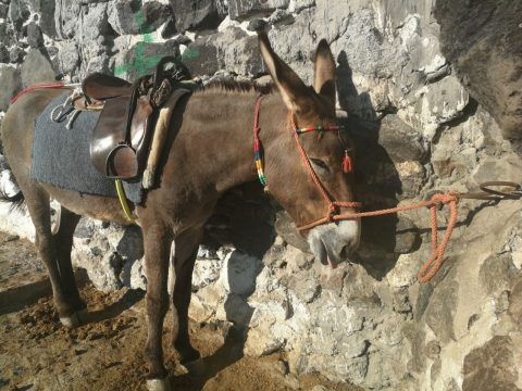 Global protest for donkeys in Santorini