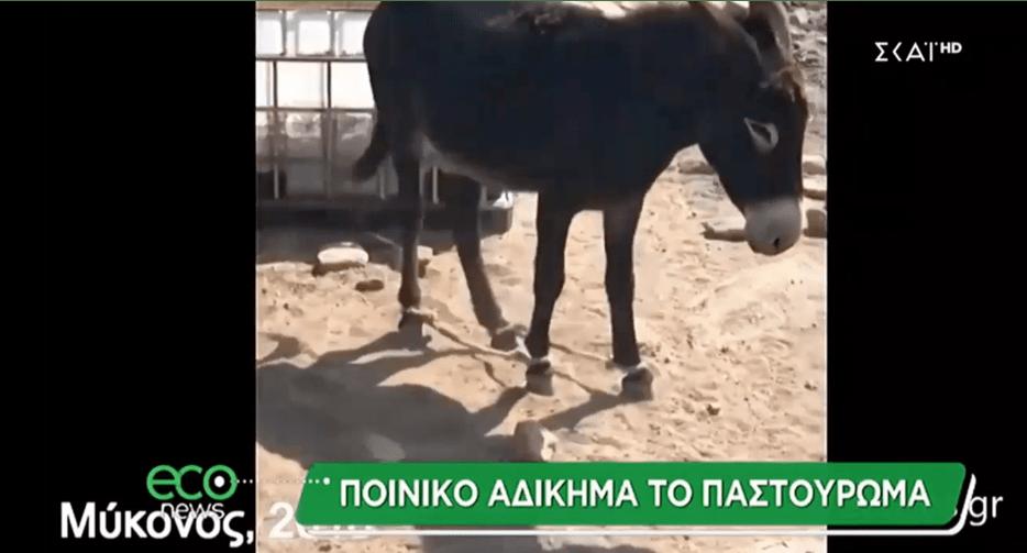 Νέα παρέμβαση της ΠΦΠΟ για το βασανισμό των ζώων μέσω του παστουρώματος-Ρεπορταζ του econews