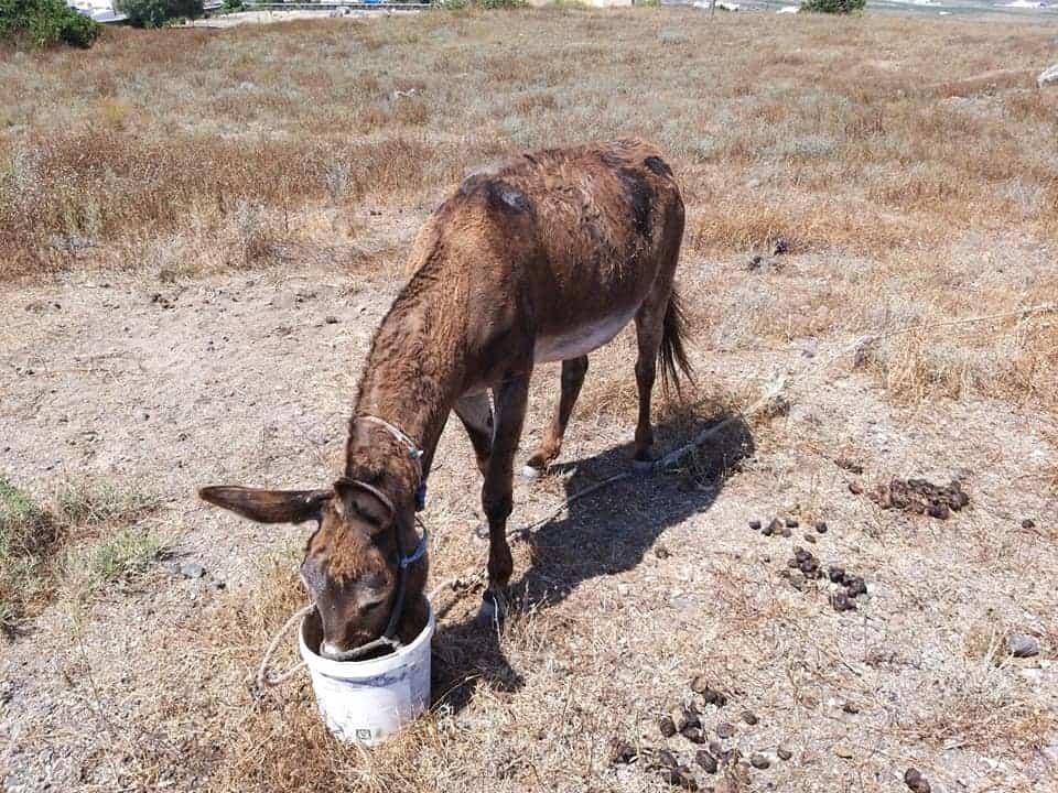 Καταγγελία για κακοποίηση γαϊδουριού στην Σαντορίνη / Complaint of equine abuse in Santorini