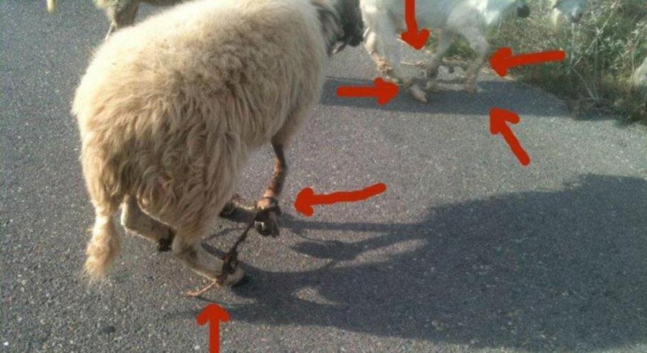 Εισαγγελέας Πρωτοδικών Νάξου για το παστούρωμα: «Βαρύτατη κακοποίηση των ζώων που διώκεται ποινικά»