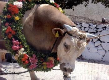 Eπιστολή της Ομοσπονδίας στις αρμόδιες αρχές για την απαγόρευση βάρβαρου εθίμου διαπόμπευσης και θανάτωσης ταύρου στην Τσακώνη Καστοριάς / PFPO's letter to competent authorities to ban the barbaric custom of a bull's public slaughter in Tsakoni, Kastoria