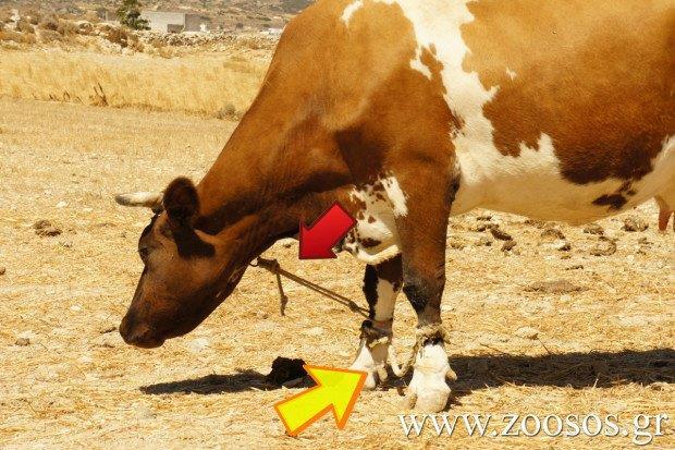 Συλλήψεις σε Πάρο και Τήνο για κακοποίηση ζώων  με την βασανιστική μέθοδο της παστούρας