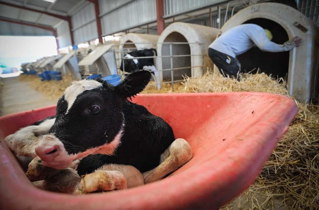 Για τη σκοτεινή πλευρά της βιομηχανίας γάλακτος, ίσως της πιο σκληρής και αθέατης πλευράς βασανισμού ζώων