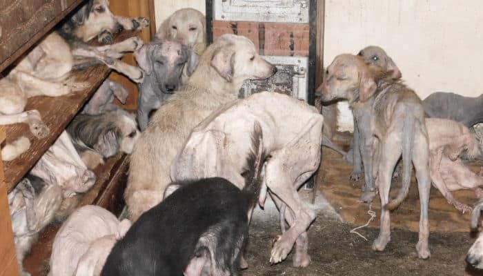 Το φάσμα της κακοποίησης ζώων, η παρασυσσώρευση (συλλέκτης ζώων)