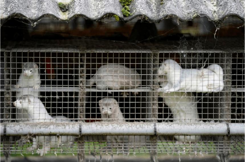 Θανάτωση 15 εκατομυρίων μινκ λόγω μετάλλαξης κορονοϊού, κατάργηση γούνας μινκ σε Δανία