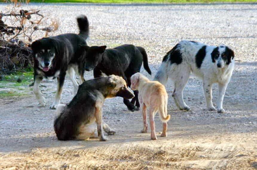 Επιστολή της ΠΦΠΟ προς τον δήμαρχο Αράχωβας-Διστόμου-Αντίκυρας σχετικά με την διαχείριση των αδέσποτων ζώων