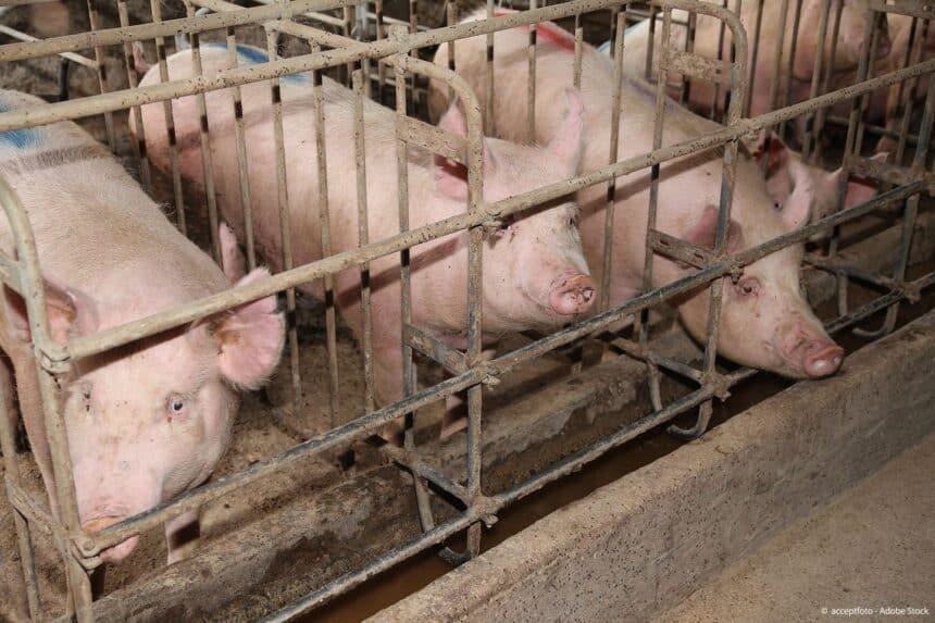 End the Cage Age! Το ΕΚ υπέρ της πρωτοβουλίας πολιτών για σταδιακή κατάργηση των κλουβιών στην κτηνοτροφία